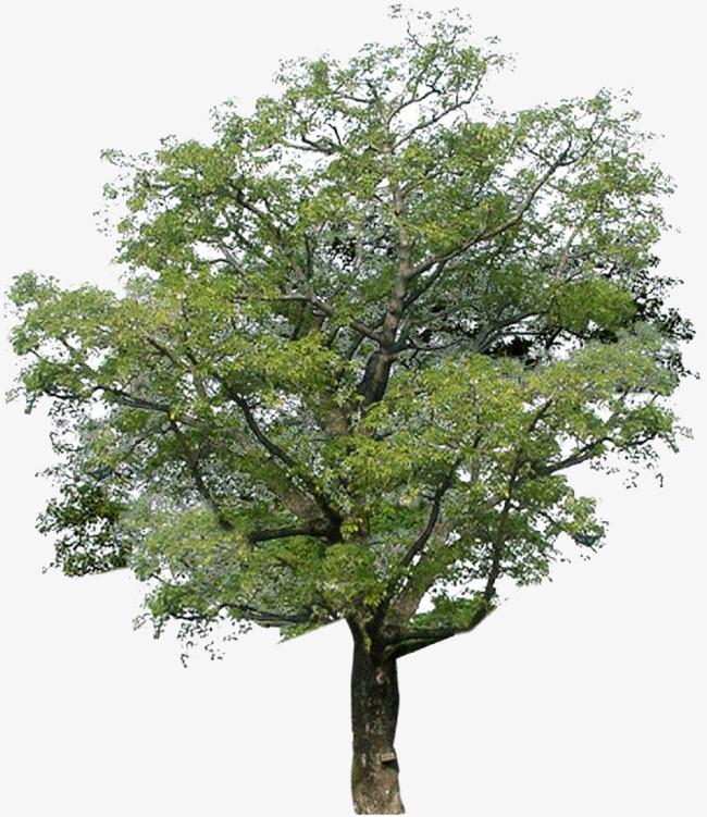 槐树国槐高清图片图片免抠png素材免费下载,图片编号